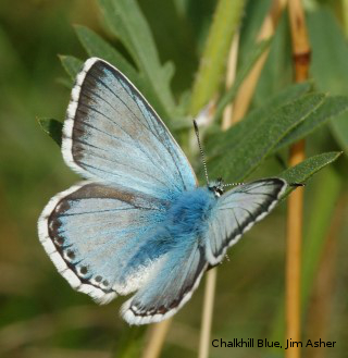 Chalkhill Blue butterfly by Jim Asher